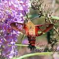 Hummingbird Moth  Hemaris Diffinis 8717 by Captain Debbie Ritter