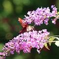 Hummingbird Moth  Hemaris Diffinis 8734 by Captain Debbie Ritter