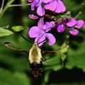 Hummingbird Moth Hovering by Allen Nice-Webb