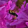 Hummingbird Moth On Azalea by Kathryn Meyer
