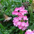 Hummingbird Moth On Pink Verbena by Susan Baker