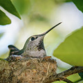 Hummingbird Mother On Nest by Alexander Kunz