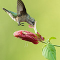 Hummingbird Nose Dive by William Jobes