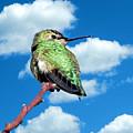 Hummingbird On High by Glen Faxon