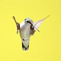 Hummingbird On Yellow 2 by Robert  Suits Jr