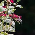 Hummingbird by Peter J Scott