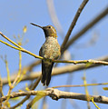 Hummingbird Posing by Clarence Alford