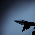 Hummingbird Silhouette by Edward Myers