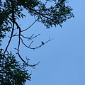 Hummingbird Silhouette by Michelle Miron-Rebbe