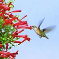 Hummingbird Sipping Nectar