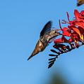 Hummingbird Sips Nectar by Robert Potts