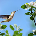 Hummingbird Springtime by Christina Rollo