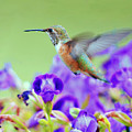Hummingbird Visiting Violets by Laura Mountainspring