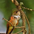 Hummingbird With An Itch by Mel Manning
