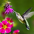 Hummingbird With Flower by Christina Rollo