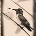 Hummingbird With Old-fashioned Frame 3 by Carol Groenen