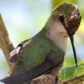 Hummingbird With Small Nest by Amy Fose