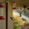 Hummingbirds In Flight by Penny Potter