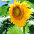 Humongous Sunflower by Sharon Allen