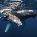 Humpback Whale And Calf by BARATHIEU Gabriel