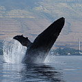Humpback Whale Breach by Jennifer Ancker