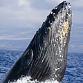 Humpback Whale Breaching by Dave Fleetham - Printscapes