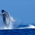 Humpback Whale Breaching by Ed Robinson - Printscapes