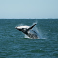 Humpback Whale Breaching by Peter K Leung