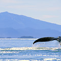 Humpback Whale Flukes by John Hyde - Printscapes