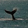 Humpback Whale Lifts Its Fluke. I by Ralph Lee Hopkins