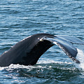 Humpback Whale Of A Tail by Lorraine Cosgrove