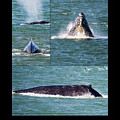 Humpback Whale Photo Montage by Brian Tada