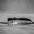Humpback Whale Tail IIi by Roxy Hurtubise
