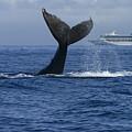 Humpback Whale Tail Lobbing Near Cruise by Flip Nicklin