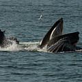 Humpback Whales Megaptera Novaeangliae by Ralph Lee Hopkins