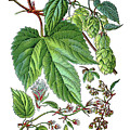 Humulus Lupulus, Common Hop Or Hop by Bildagentur-online