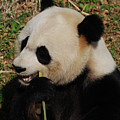 Hungry Chinese Giant Panda Bear Eating Bamboo by DejaVu Designs