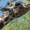 Hungry Giraffe by Doris Giardini