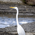Hungry Great Egret by Kenneth Albin