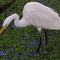 Hungry Great Egret by Mike Mullins