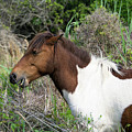 Hungry Horse - Assateague Island - Maryland by Brendan Reals