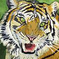 Hungry Tiger by Alban Dizdari