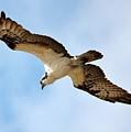 Hunter Osprey by Carol Groenen