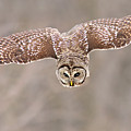 Hunting Barred Owl  by Mircea Costina Photography