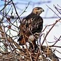 Hunting Red-tailed Hawk by Darin Bokeno