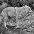 Hunting With Ears Back Black And White by Adam Jewell