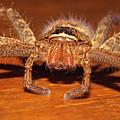 Huntsman Spider by Joerg Lingnau