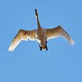 Hurt. Whooper Swan by Jouko Lehto