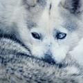 Husky Curled Up by Steve Somerville