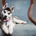 Husky Puppy II by Amy Jackson